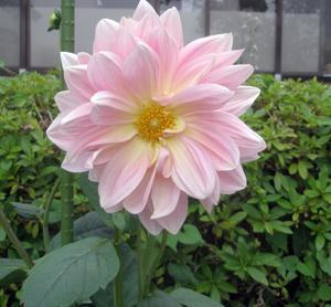 明石公園に咲く6月の花15.jpg